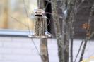 Pähkinänakkeli (Asiatica)